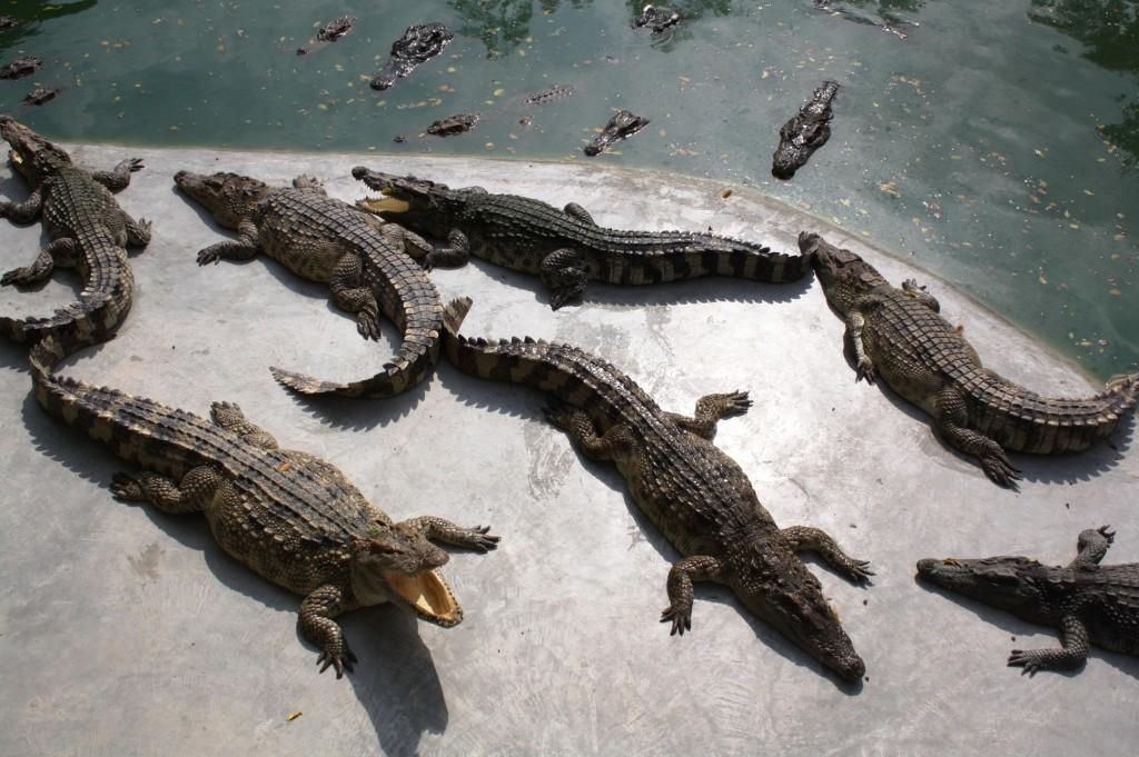крокод ферма 1